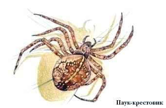 запах может сколько яиц откладывает паук-крестовик тогда Вашей