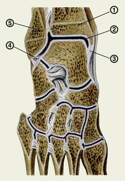 Голеностопный сустав. Рис. 3